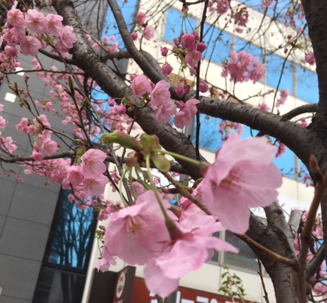 教室前の桜だより2