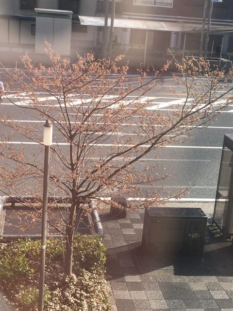 教室前の桜だより1