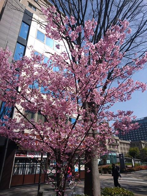 教室前の桜便り2
