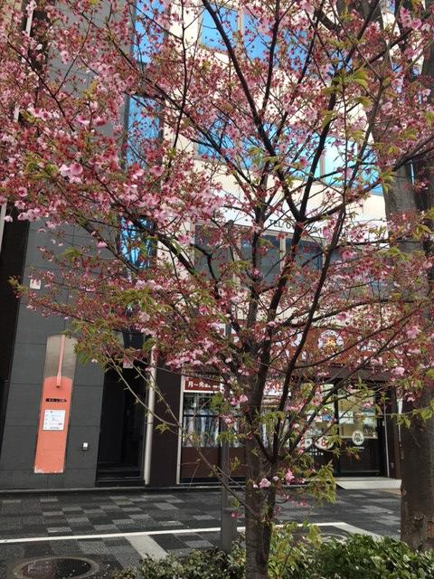 教室前の桜便り3